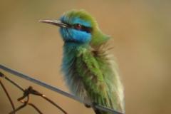 Little green Bee-eater-W800